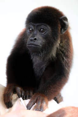 This little 6 mph old howler monkey was rescued from the pet trade. His mother killed, he was sold on the market. Bought and kept like a dog, he's not used to climbing trees, he does not know how to pick fruits from the tree and eat them...you can see the sadness in his eyes.